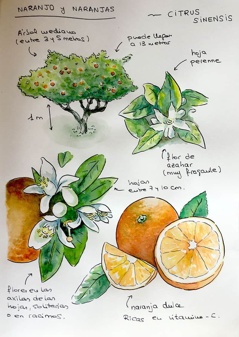 Cuaderno de campo: página para un naranjo - final